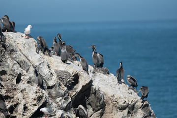 Spotted shags on a rock in New Zealand 4