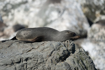 Ohau Point New Zealand Fur Seal 33