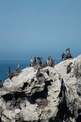 Spotted shags on a rock in New Zealand 5