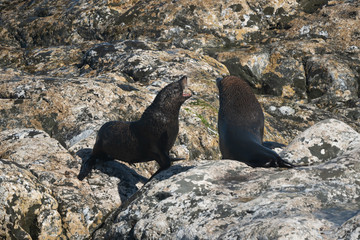 Ohau Point New Zealand Fur Seal 40
