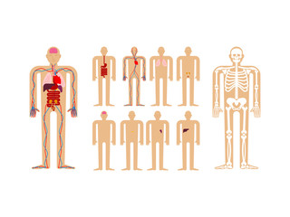 Human anatomy. Skeleton and Internal organs. Systems of man body and organs. medical systems. vector illustration