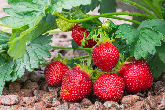 Large red bright juicy strawberries on the bush.Delicious berries in the garden on a sunny day.