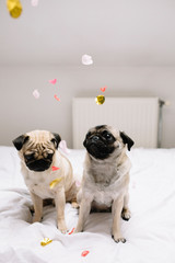 Pug dogs and confetti