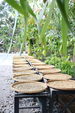 Kopi Luwak Coffee beans in various stages of the coffee making process drying in the sun in Magelang, Indonesia