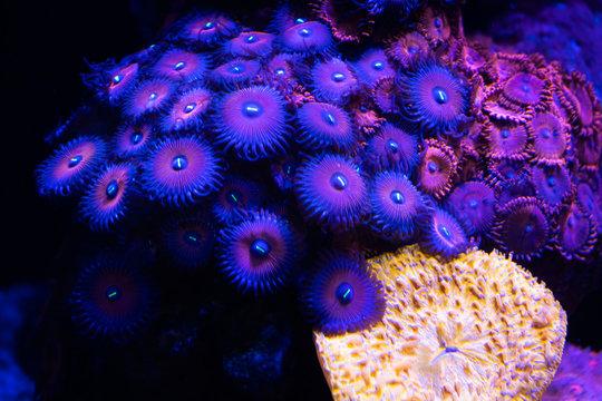 purple zoa coral in reef tank