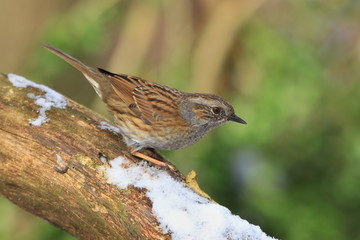 Dunnock sitting on the branch with snow. Wildlife scene from nature. Song bird in the nature habitat. Prunella modularis.