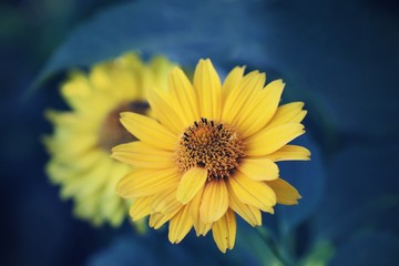 Beautiful yellow flowers with blue background.