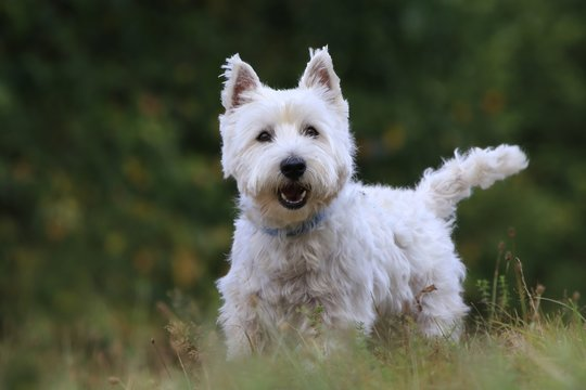 Westie. West Highland White terrier standing in the grass. Portrait of a white dog.