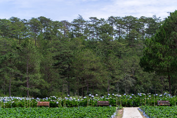 Panoramic view of Hydrangea flower field in Dalat, Vietnam. Da lat is one of the best tourism cities and aslo one of the largest vegetable and flowers growing areas in Vietnam