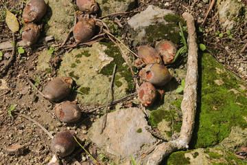 Attalea Cohune, Kohunlich Palm, Kohunlich, Maya Ruins