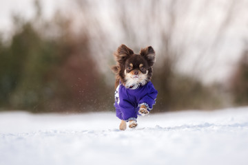 chihuahua dog in winter clothes running outdoors