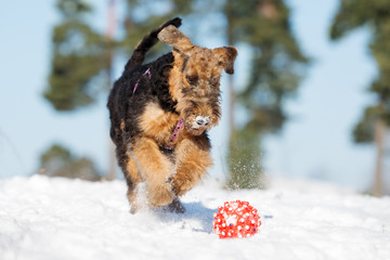 airedale terrier puppy playing with a ball outdoors in winter