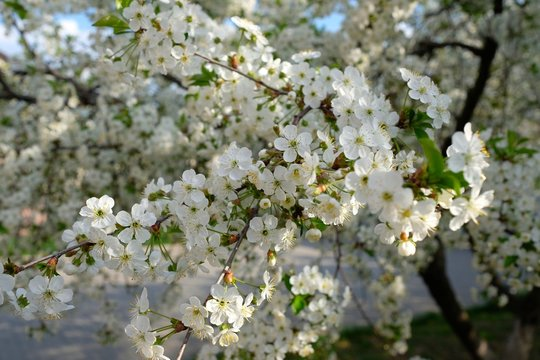A tinted cherry tree, white cherry blossoms