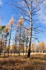 Fototapete - yellow larch and birch trees illuminated by the sun in the autumn forest