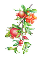 Watercolor illustration of the pomegranate tree branch with fruit and green leaves