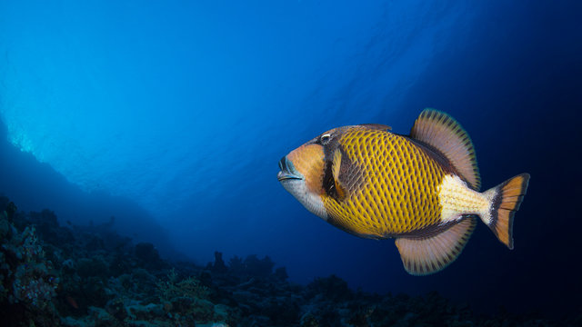 Titan triggerfish in a coral reef