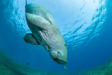 Dugong with yellow pilot fish