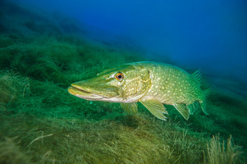 Northern pike, a common freshwater fish in Germany