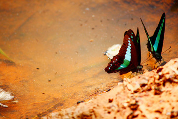Butterfly crown eating salt earth on the ground of forest in Thailand.