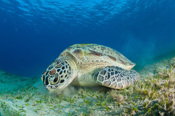Green sea turtle in a sea grass meadow