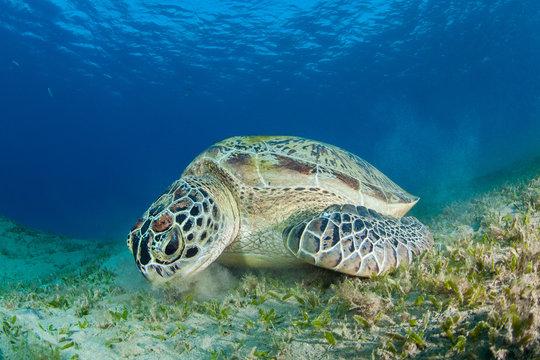 Green sea turtle in a sea grass meadow