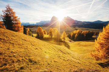 Wall Mural - Magical image of larch on the slopes of the hills. Location place Seiser Alm or Alpe di Siusi, South Tyrol, Italy. Europe.