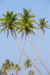 Coconut palm trees on the tropical beach is a bizarre shape against the blue sky