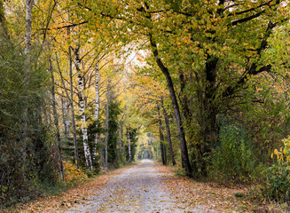 Wall Mural - long gravel path leading through a canopy of fall foliage color forest