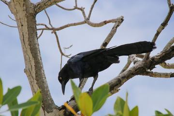 Quiscalus mexicanus, Male, Belize