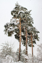 Three tall pine in snowfall on the background of snowy forests and white sky