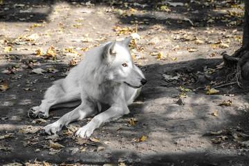 Polarwolf im Schatten