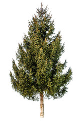 gren fir tree isolated on white