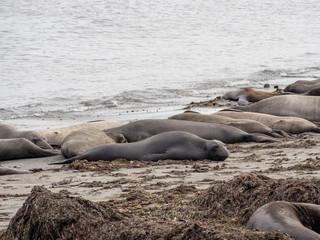 Elephant seals at the Ano Nuevo State Park, by Santa Cruz, California, USA