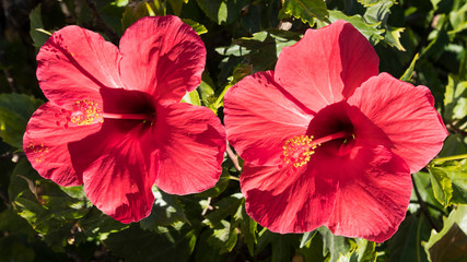 Two exotic and colorful red hibiscus flowers, under strong morning sunlight, an ornamental shrub growing naturally in tropical countries, with a strong symbolism and multiple uses