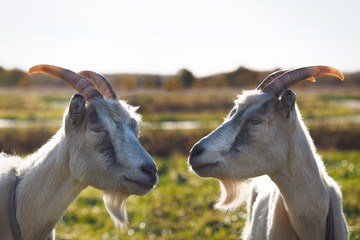 Two goats. Portrait of funny animals in nature in the field