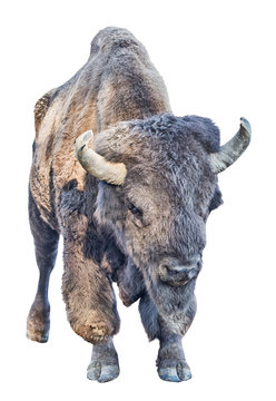 large dark bison isolated on white