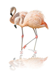 isolated two flamingo with reflection