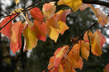 Red and yellow sunlit autumn leaves hanging from branches.