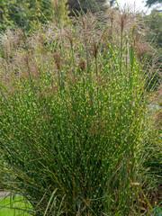 Eulalies zébrées au feuillage panaché à bandes horizontales jaune crême ou Roseaux de Chine à inflorescences automnale rouge cuivré (Miscanthus sinensis zebrinus).