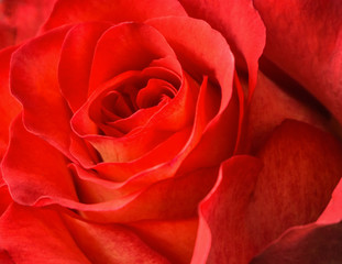 Red rose bud close up macro