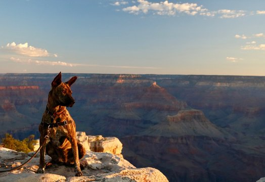 Brindle Shepherd Dog Looks Over Grand Canyon During Sunrise