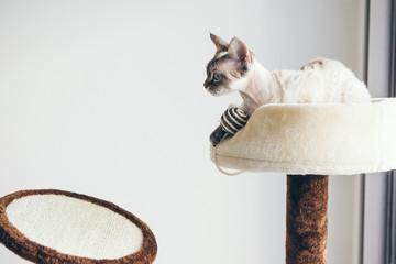 Beautiful Devon Rex cat sitting on scratching furniture. Copy space area Wall mural