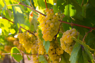 White grapes with blurred vineyard background