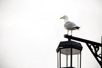 Seagull sitting lamp post