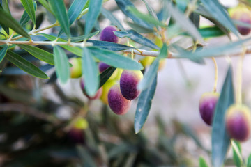 Olive branch and tree, ready for harvesting, natural abstract background and texture