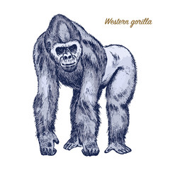 Western or mountain gorilla. big monkey or primate. Hand drawn, engraved wild animal in vintage or retro style, zoology african symbol.