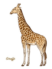 African giraffe Wild animal on white background. Engraved hand drawn line art Vintage old monochrome sketch, ink. Vector illustration for label. safari symbol.
