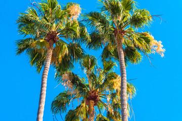 Three palm trees against a blue sky, Kauai, Hawaii, USA. Copy space for text.