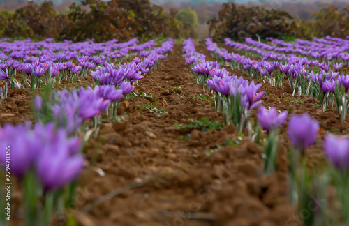 Cultivo Del Azafran En Campos De Espana Stock Photo And Royalty - Cultivo-azafran