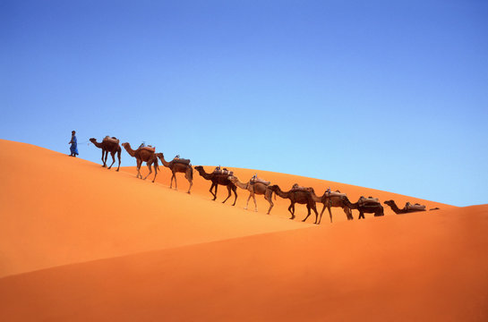 Herd of camels being led through a desert by a mid adult man wearing traditional clothing.